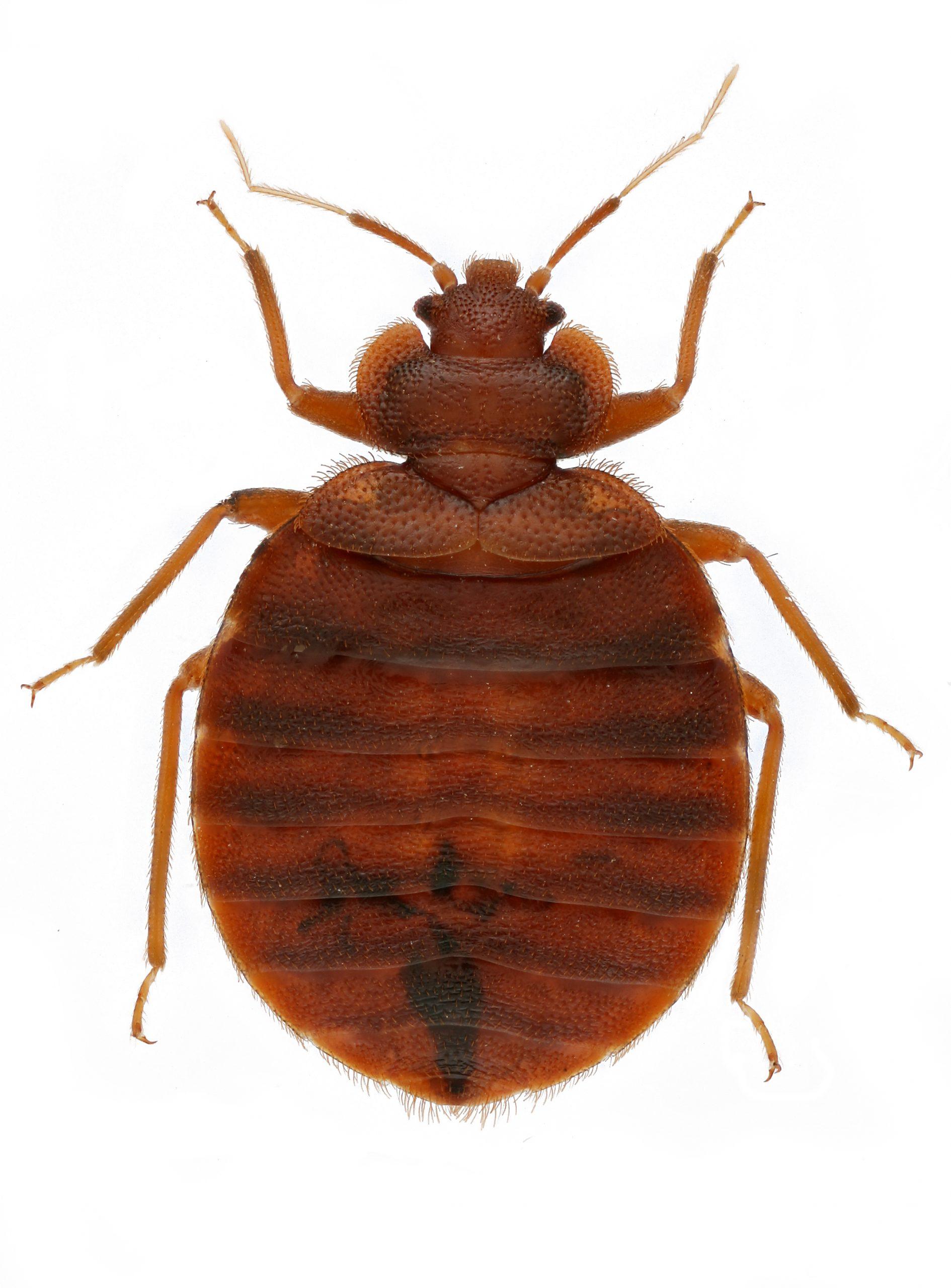 Live bedbugs